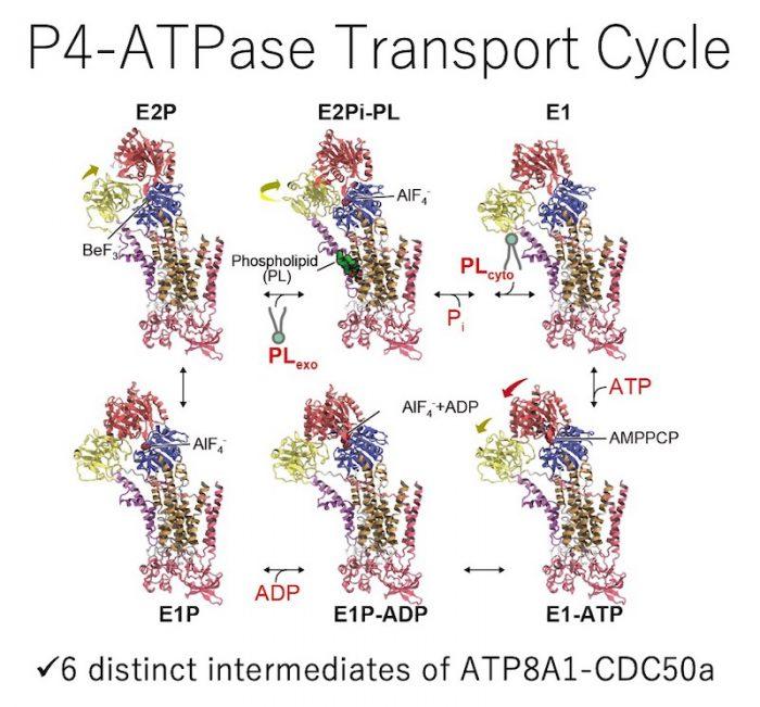 P4-ATPase_Transport_Cycle