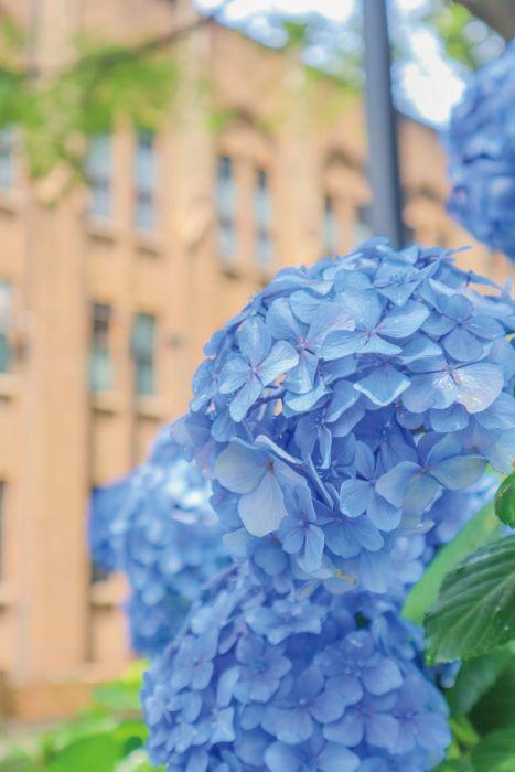 東大の紫陽花(雪林檎さん撮影)