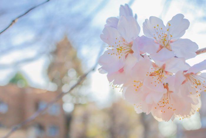 東大の桜(雪林檎さん撮影)